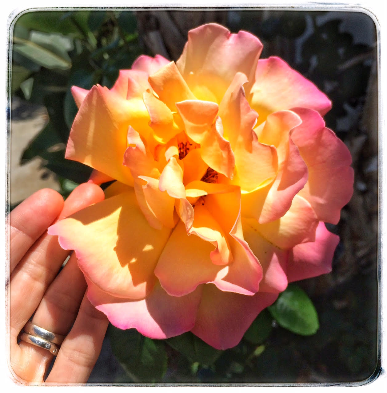 rose-in-bloom_conscious-companion