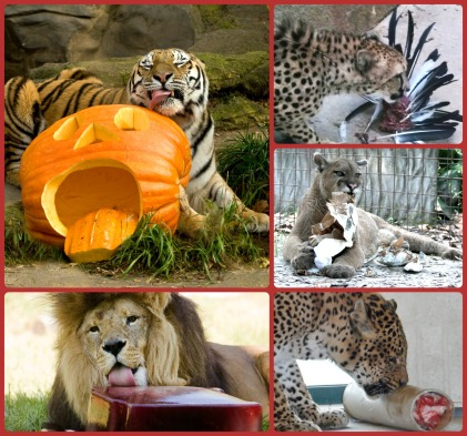 big-cats-enrichment