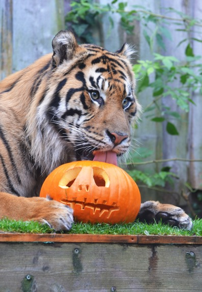 jae-jae-a-sumatran-tiger