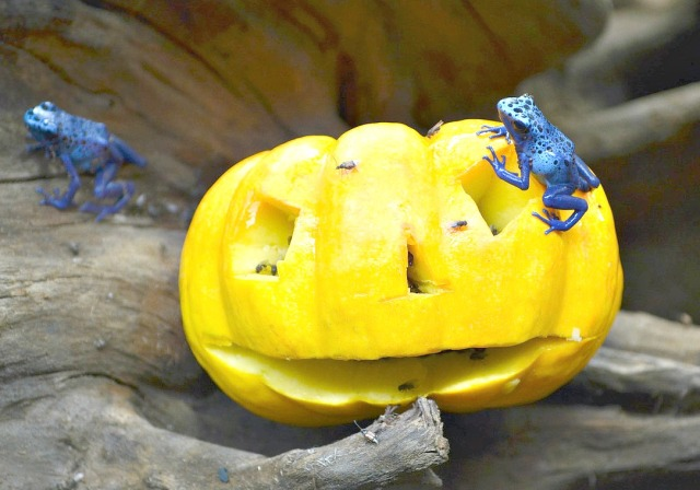 blue poison dart frog enrichment _