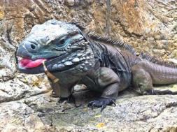 blue-iguana_2