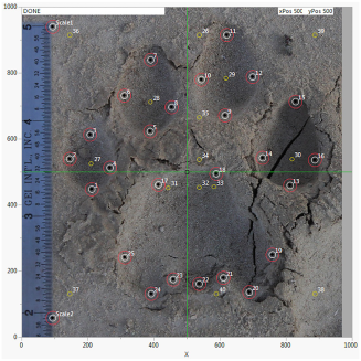A puma footprint showing the placement of 25 landmark points (red circles) and 15 points derived from them and generated by the FIT script (yellow circles). The landmark points and derived points are numbered in one sequence, providing 40 total points from which measurements (variables) of the footprint are made.