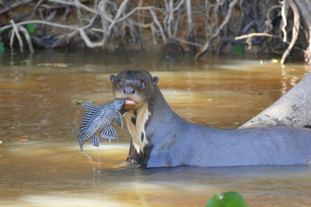 Giant_Otter_(Pteronura_brasiliensis)_with_a_Sailfin_Catfish_(Pterygoplichthys_sp.)_-_Flickr_-_berniedup