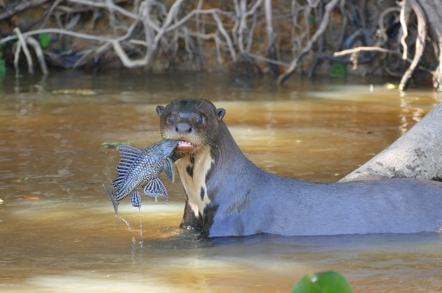 Giant_Otter_(Pteronura_brasiliensis)_with_a_Sailfin_Catfish_(Pterygoplichthys_sp.)_-_Flickr_-_berniedup