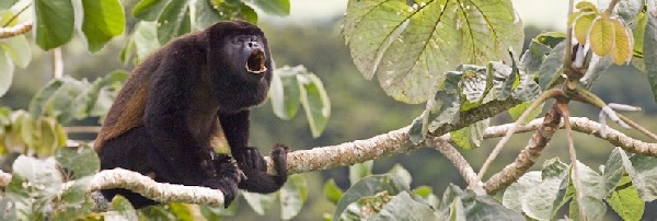 howler_monkey_
