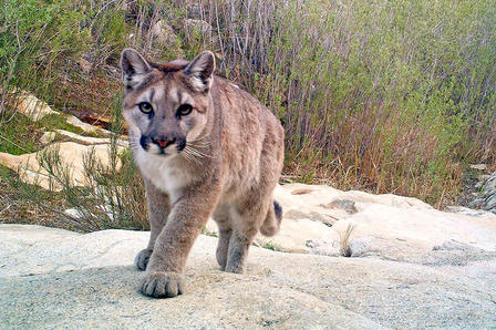 mountain lion (1)