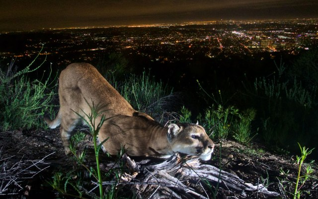 mountain lion (2)