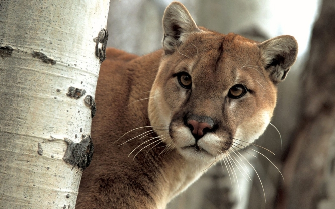 Puma-cougar