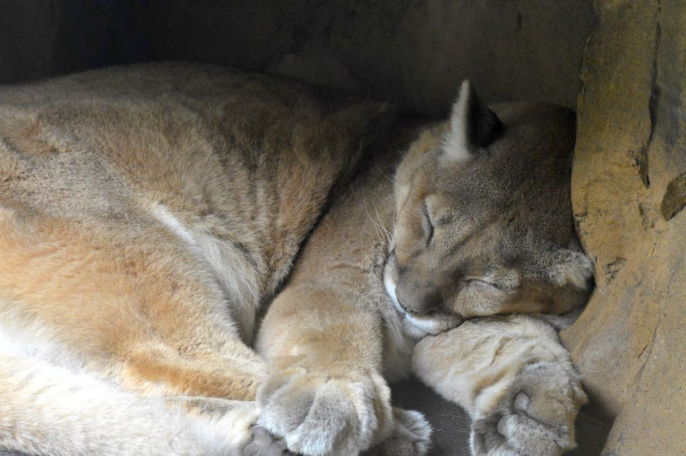 puma-sleeping-00.jpg.990x0_q80_crop-smart