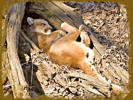 puma-sleeping-02