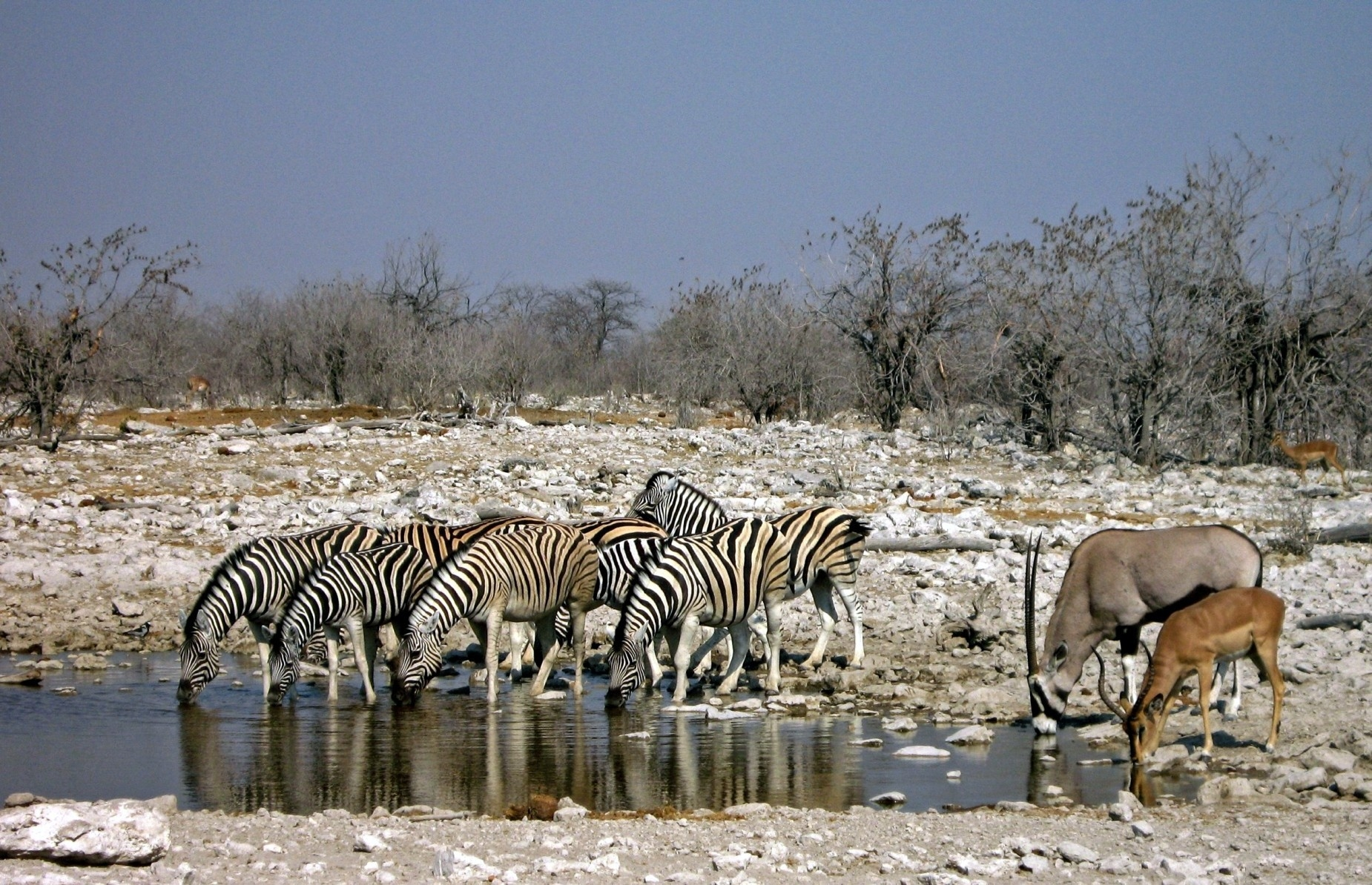 water animals zebras antelope drinking africa_guild species