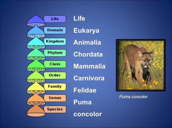 concolor. Puma concolor.