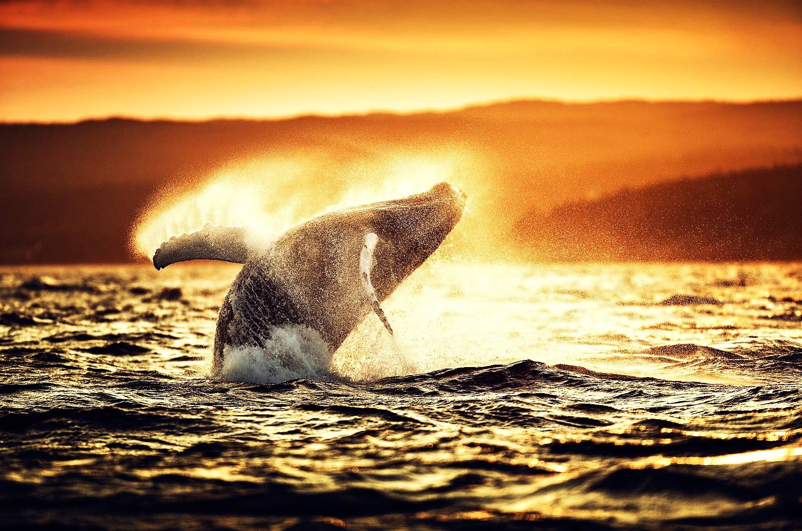 California Mexico Humpback Whale