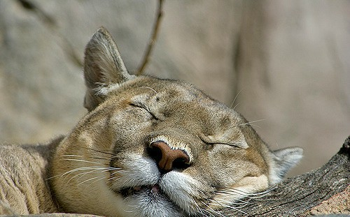 sleepingPuma_bigcats_catadvice_conservation